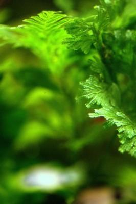 Аквариумные растения - опознание растений. - jVTNBh7ZKzQ.jpg