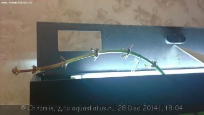 Размножение эхинодоруса. Что делать со стрелкой? - 20141228_180205.jpg