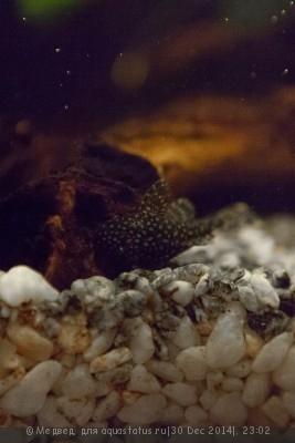 Мой первый аквариум 15 литров Медвед  - IMG_3533.jpg