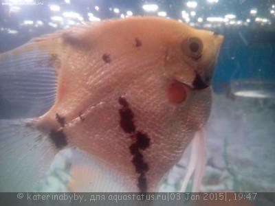 Фото болезней аквариумных рыб - IMG_20150103_190224.jpg