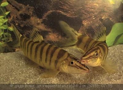 Помогите опознать рыбку опознание рыб  - 17.jpg