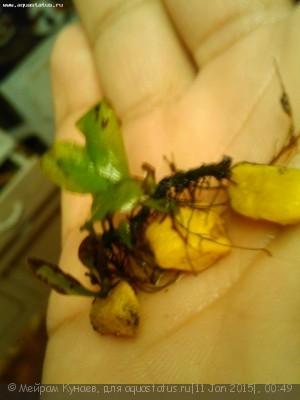 Аквариумные растения - опознание растений. - IMG_20150111_004149.jpg