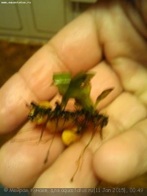 Аквариумные растения - опознание растений. - IMG_20150111_004109.jpg