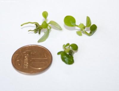 Аквариумные растения - опознание растений. - _MG_4061.jpg