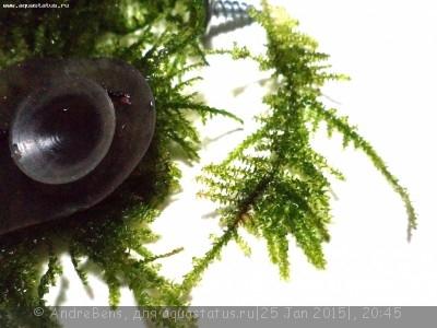 Опознание аквариумных растений - 1698.JPG