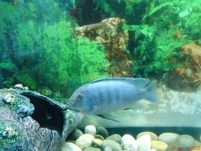 Помогите опознать рыбку опознание рыб  - DSC00129.JPG