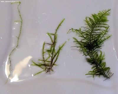 Аквариумные растения - опознание растений. - DSC05542.JPG