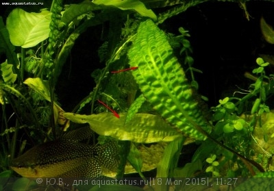 Аквариумные растения - опознание растений. - крипты.JPG