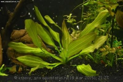 Аквариумные растения - опознание растений. - DSC_6105.JPG