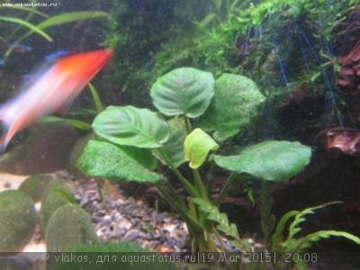 Аквариумные растения - опознание растений. - IMG_0380.JPG
