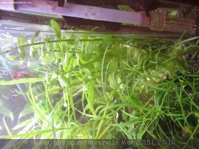 Аквариумные растения - опознание растений. - IMG_0383.JPG