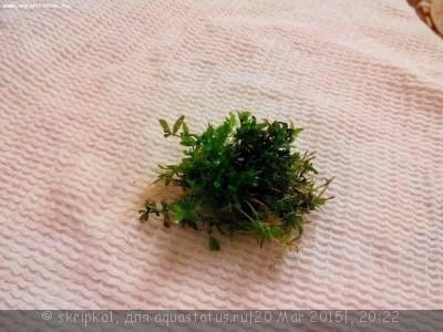 Аквариумные растения - опознание растений. - 3.jpg