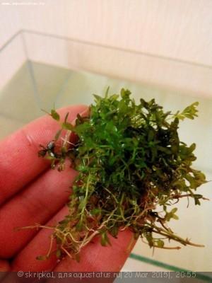 Аквариумные растения - опознание растений. - 3_1.jpg