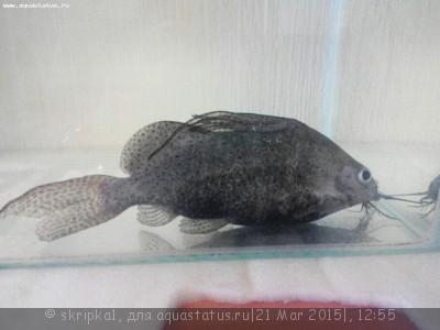 Помогите опознать рыбку опознание рыб  - ZCmg8xSuQRM.jpg