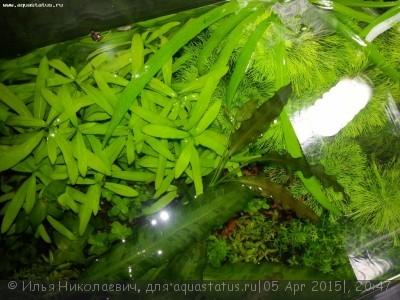 Аквариумные растения - опознание растений. - 1oXgseHE_sU.jpg