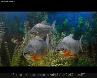 Помогите опознать рыбку опознание рыб  - Безымянный.jpg