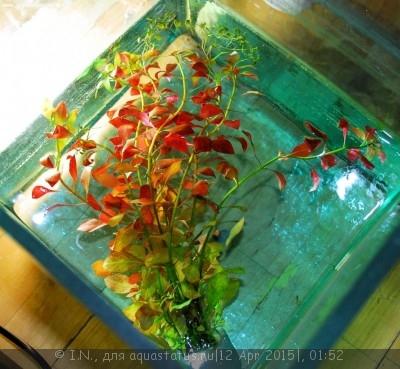 Аквариумные растения - опознание растений. - DSC_5985.jpg