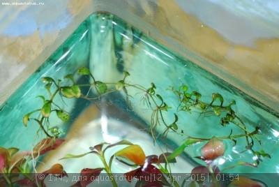 Аквариумные растения - опознание растений. - DSC_5988.jpg