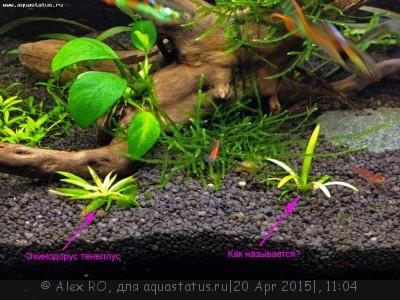 Аквариумные растения - опознание растений. - IMG_0393.JPG