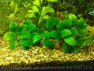 Аквариумные растения - опознание растений. - 20150505_231446.jpg