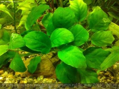 Аквариумные растения - опознание растений. - 20150505_231455.jpg