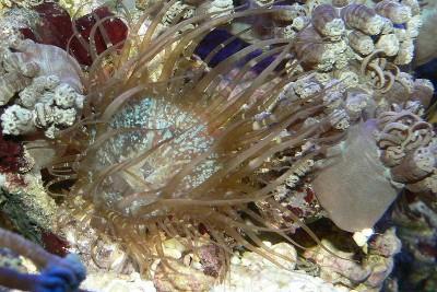 Борьба с айптазиями стеклянными розами в морском аквариуме - 800px-Aiptasia_2.jpg