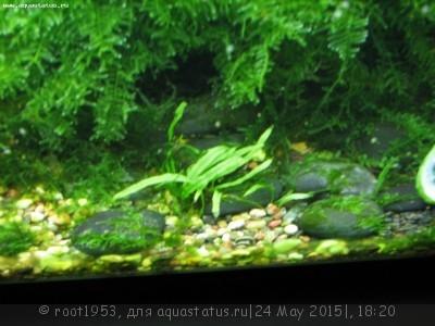 Аквариумные растения - опознание растений. - IMG_4107.JPG