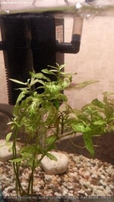 Аквариумные растения - опознание растений. - IMG_20150606_172159.jpg