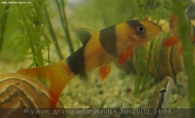 Помогите опознать рыбку опознание рыб  - SAM_0543_cr.jpg