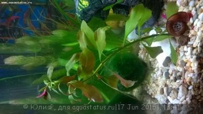 Аквариумные растения - опознание растений. - WP_20150615_001.jpg