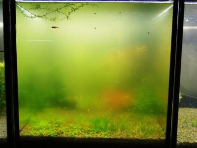 Цветение воды, зеленая вода, позеленела аквариум - DSC04522.JPG