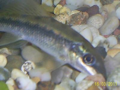 Помогите опознать рыбку опознание рыб  - S4022917.JPG