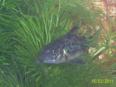Помогите опознать рыбку опознание рыб  - S4022918.JPG