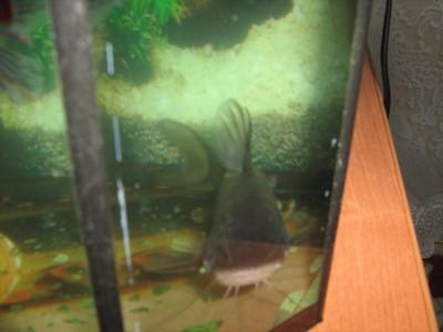 Помогите опознать рыбку опознание рыб  - Изображение 058.jpg