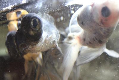 и ещё вопрос почему с права золотая рыбка часто плавает брюшком к верху? - IMG_0962.JPG