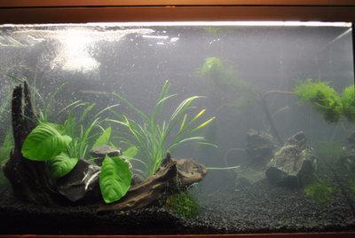 Мой первый аквариум с живыми растениями 60 литров ЮлькО  - 1.jpg