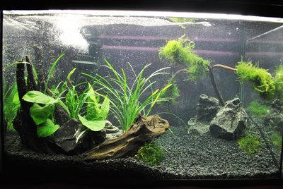 Мой первый аквариум с живыми растениями 60 литров ЮлькО  - DSC_01561.jpg