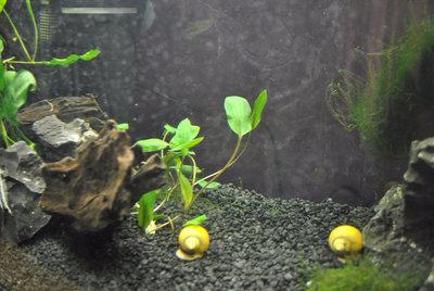 Мой первый аквариум с живыми растениями 60 литров ЮлькО  - H-dFVL--U9M.jpg