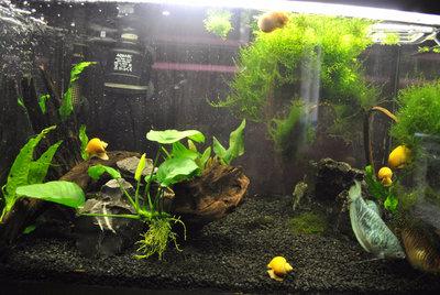 Мой первый аквариум с живыми растениями 60 литров ЮлькО  - DSC_0157.JPG