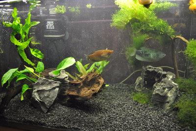 Мой первый аквариум с живыми растениями 60 литров ЮлькО  - DSC_0162.JPG