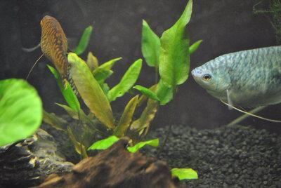 Мой первый аквариум с живыми растениями 60 литров ЮлькО  - DSC_0168.JPG