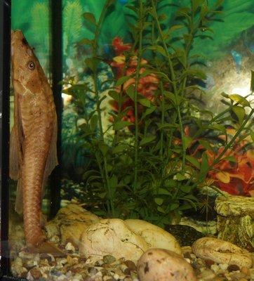 Помогите опознать рыбку опознание рыб  - DSC01363.JPG