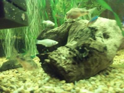 Помогите опознать рыбку опознание рыб  - 22.JPG