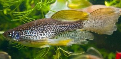 Помогите опознать рыбку опознание рыб  - Danio Leopard Long Fin 01.jpg
