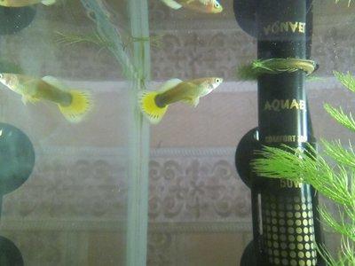 Помогите опознать рыбку опознание рыб  - IMG_1137.JPG