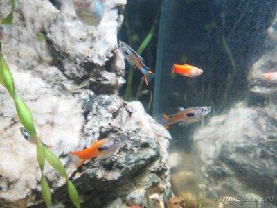 Помогите опознать рыбку опознание рыб  - 1 018.JPG