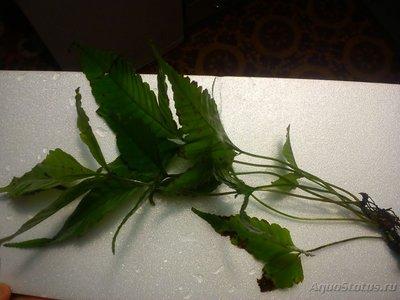 Аквариумные растения - опознание растений. - DSC_0159.jpg