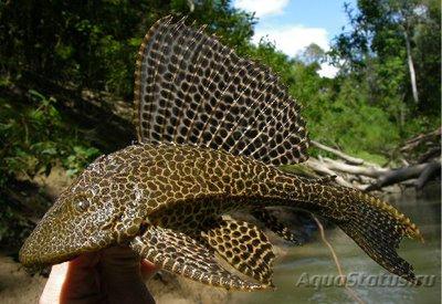 Парчовый - Pterygoplichthys-gibbiceps.jpg