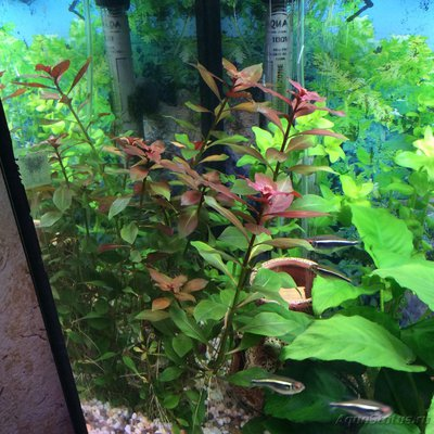 Аквариумные растения - опознание растений. - image.jpg