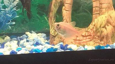 Помогите опознать рыбку опознание рыб  - ampGUlMdF3E.jpg